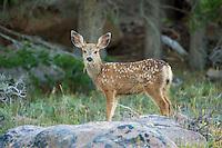 Mule deer fawn in Wyoming