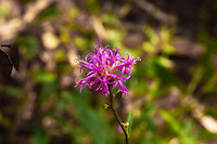 Beautiful flower of the Florida ironweed blooming in the CREW Marsh Hiking Trails in SW Florida.