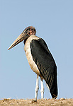Marabou Stork, Leptoptilos crumeniferus, Lake Awasa, Ethiopia, blue sky background, Africa