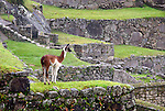 Americas, South America, Peru, Machu PIcchu. Llamas at Machu Picchu, a UNESCO World Heritage Site.