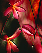Plumeria Flowers & Red Ti Leaf/Still Life