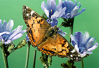 Painted lady butterfly, Vanessa cardui, with wings outstretched on blue wild chickory flowers, Cichorium intybus, Missouri, USA