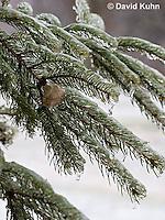1228-0901  Praying Mantis Ootheca, Egg Case in Winter  © David Kuhn/Dwight Kuhn Photography