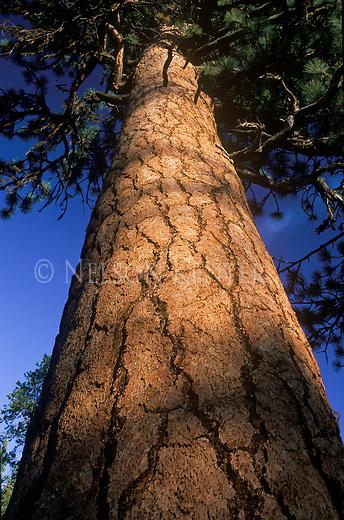 A ponderosa pine tree in Montana
