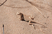 Mojave fringe-toed lizard - Uma scoparia - on sand, Kelso Dunes, California