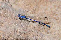 338660005 a wild  male spine-tipped dancer argia extrane perches on a rock at cienega creek natural area pima county arizona