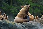 Steller Sea Lions enjoying the day