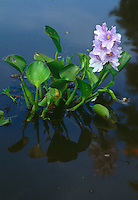 Water hyacinth, Eichhornia sp., family Pontederiaceae, in Pantanal swamps, Brazil, Mato Grosso.
