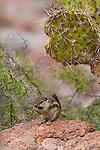 Ensenada Grande, on the western shore of Isla Partida.  Gulf of California, Baja California, Mexico.  Golden manteled ground squirrels populate the island.