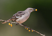 Northern Mockingbird perched on limb with yellow berries with a yellow berry in beak