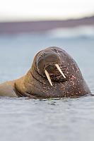 Walrus, Svalbard