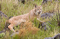Siberian Lynx lying in some wet grass - CA