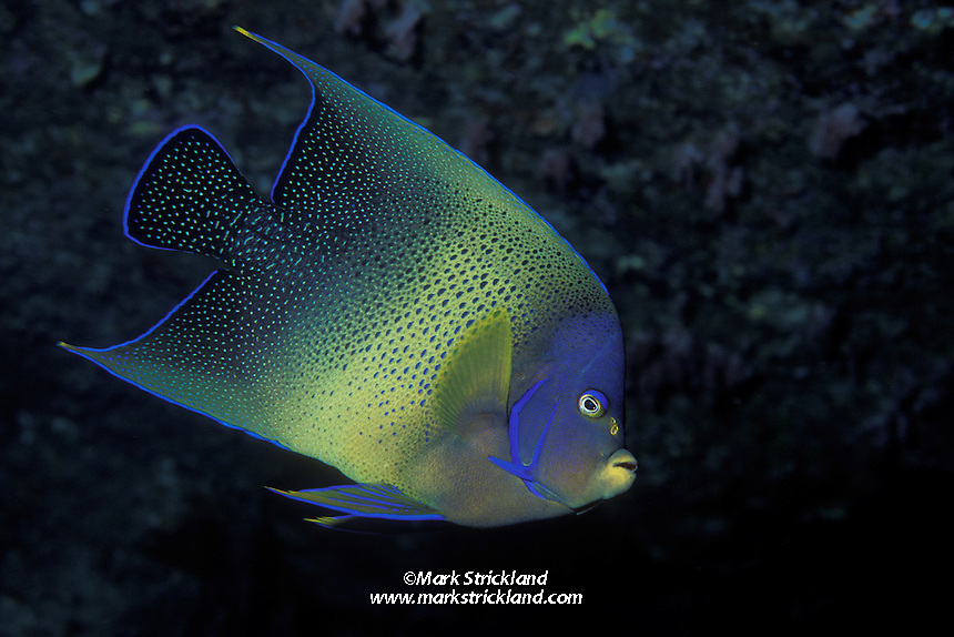 A curious Semicircle Angelfish, Pomacanthus semicirculatus, peers out from a rocky overhang.  Koh Tachai, Similan Islands Marine National Park, Andaman Sea, Thailand