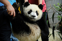 A one-year-old female panda named Yali, is carried out of a feeding room at Chengdu Panda Base in Sichuan province, China. 25-Jul-2010