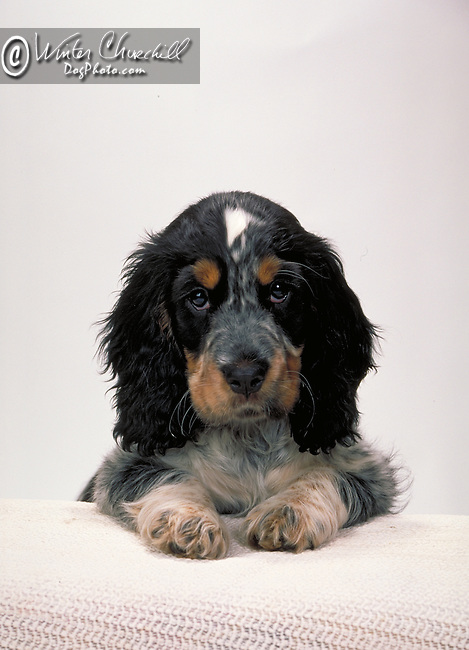 english cocker spaniel Shopping cart has 3 Tabs:<br /> <br /> 1) Rights-Managed downloads for Commercial Use<br /> <br /> 2) Print sizes from wallet to 20x30<br /> <br /> 3) Merchandise items like T-shirts and refrigerator magnets