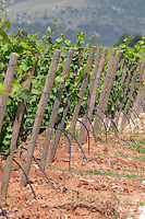 Vineyard. Chardonnay. Ktima Pavlidis Winery, Drama, Macedonia, Greece