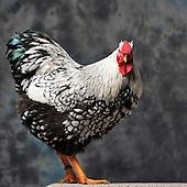 23/11/12 - MONTLUCON - ALLIER - FRANCE - Concours National Avicole de Montlucon. GR Coq Wyandotte argente a lisere noir. Eleveur Daniel Cremoux - Photo Jerome CHABANNE