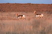 673080094 wild adult pronghorn antelope antilocarpa americana run through open grasslands in the panhandle near canadian texas