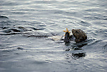 A Sea Otter floats on its back while playing with a starfish.