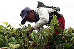 Native boy harvests beans in a land of Progreso, in northern state of Hidalgo. Photo by Heriberto Rodriguez