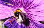 Bumblebee, Bombus terrestris