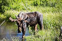 Tetons Wildlife 6-30-14