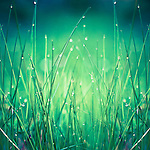 close-up of dew drops in fresh grass<br />
