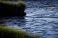 A Snowy egret probes the low tide mudflats of San Leandro Bay.