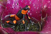 Red-banded Poison Frog in a Bromeliad flower (Oophaga lehmanni), Cauca, Colombia
