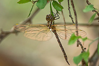 339720001 a wild teneral or newly hatched female turquoise-tipped darner rhionaeschna psilus hanging vertically in typical darner form from a leafy branch in resaca de la palma state park near brownsville texas