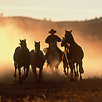 Cowboy running after with horses at sunset in dust in Oregon