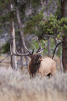 Bull elk during the autumn rut bugling