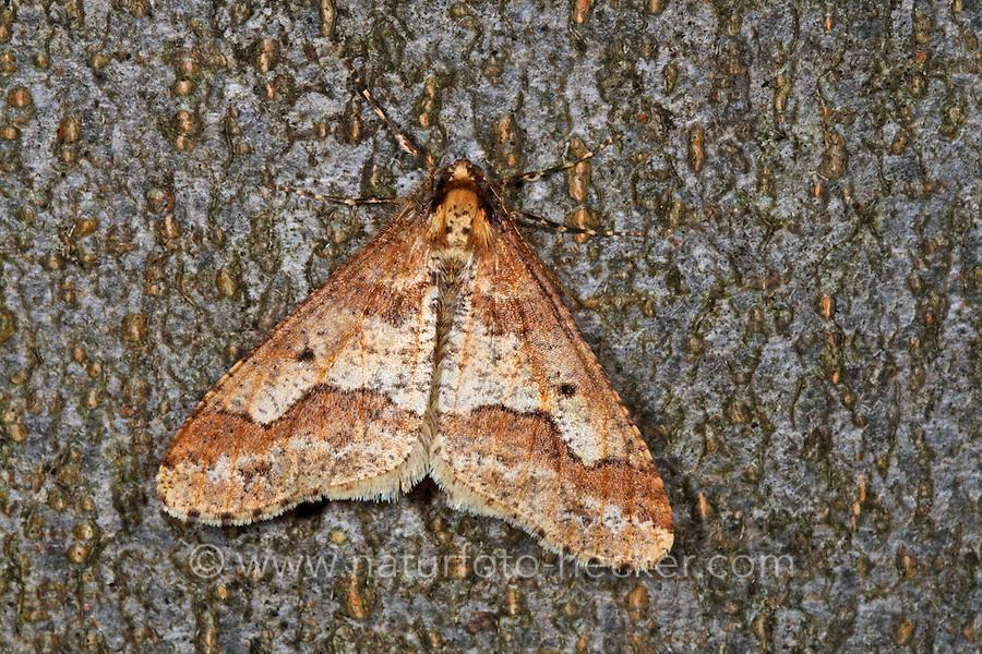 Großer Frostspanner, Männchen, Erannis defoliaria, Phalaena defoliaria, Hybernia defoliaria, Mottled Umber, male, Forstschädling, Spanner, Geometridae, looper, loopers, geometer moths, geometer moth