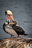 A Brown Pelican preens while a Double Breasted Cormorant poses at La Jolla Cove near San Diego, California.