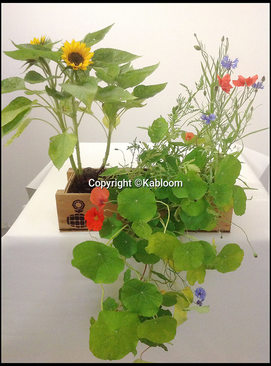 BNPS.co.uk (01202 558833)<br /> Pic: Kabloom/BNPS<br /> <br /> ***Please Use Full Byline***<br /> <br /> An indoor seedbomb. <br /> <br /> A gardening enthusiast has come up with an innovative way to spruce up abandoned areas - with 'bombs' full of wildflower seeds.<br /> <br /> The bombs are made from recycled paper and peat-free compost and shaped to look like a grenade.<br /> <br /> They are filled with a variety of seeds including poppies, marigolds, clover, cornflower, forget-me-not, thyme, and basil.<br /> <br /> They can be tossed anywhere and will naturally disentegrate into the ground over time, dispersing the seeds.