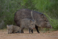 650520318 wild javelinas or collared peccaries dicolytes tajacu forage near a waterhole on santa clara ranch in starr county rio grande valley texas united states