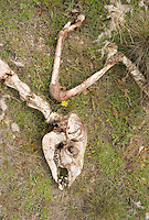 The skeleton of a guanaco, picked clean by scavengers, lies in the grass at Torres del Paine National Park in southern Chile. (Kevin Moloney for the New York Times)