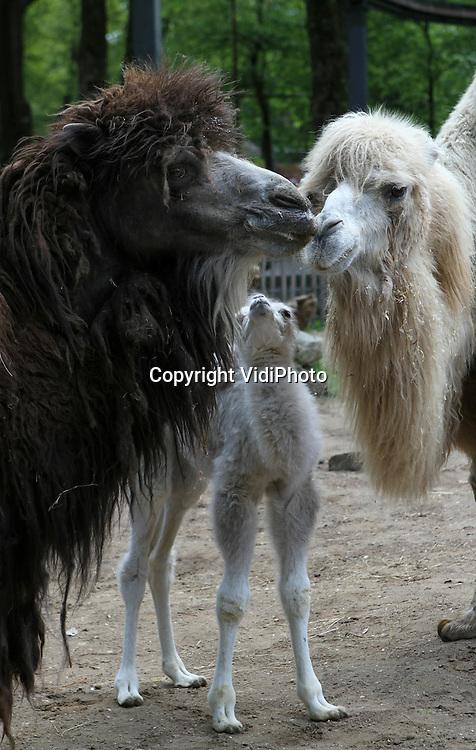 Foto: VidiPhoto..RHENEN - Voor het eerst in vier jaar heeft Ouwehands Dierenpark weer een blonde kameel. Het vorige week geboren diertje mocht dinsdag met moeder Dolores voor het eerst naar buiten en daarna de rest van de kamelenfamilie ontmoeten. Bijzonder aan het jong is de blonde vachtkleur. Meestal zijn kamelen donkerbruin van kleur.