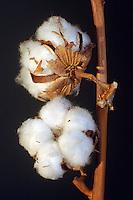 Pianta di cotone. .Cotton plant...