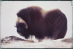 MUSK OX BULL