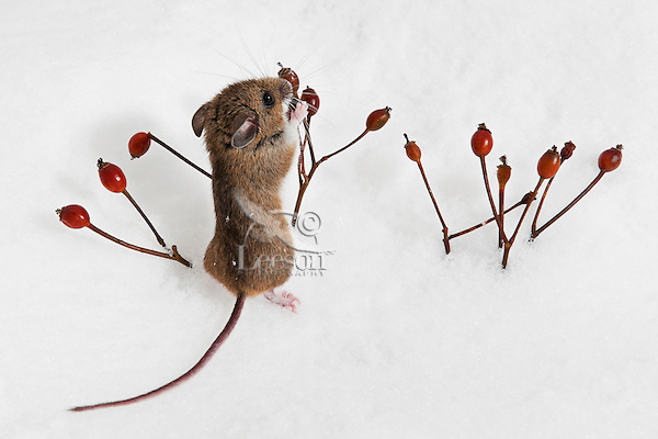 Deer Mouse (Peromyscus maniculatus) forages rose hips on sunny winter day. Native rodent of North America..