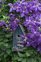 Bureau, County, IL<br /> Blue bird house surrounded by purple clematis blossoms