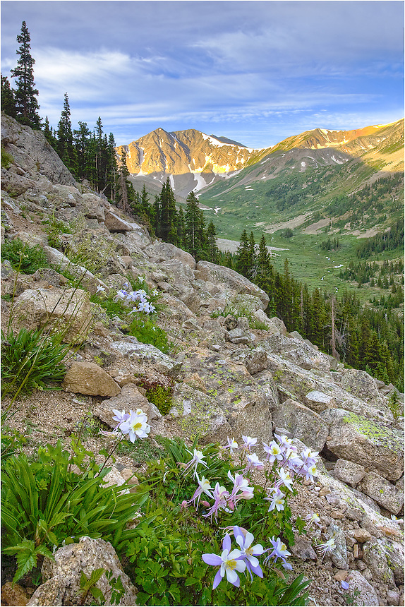 On the way to the summit of LaPlata, one of Colorado's 14ers, Columbine hug the side of the mountain along one of the many switchbacks. These Colorado wildflowers are the state flower, and bloom each summer.