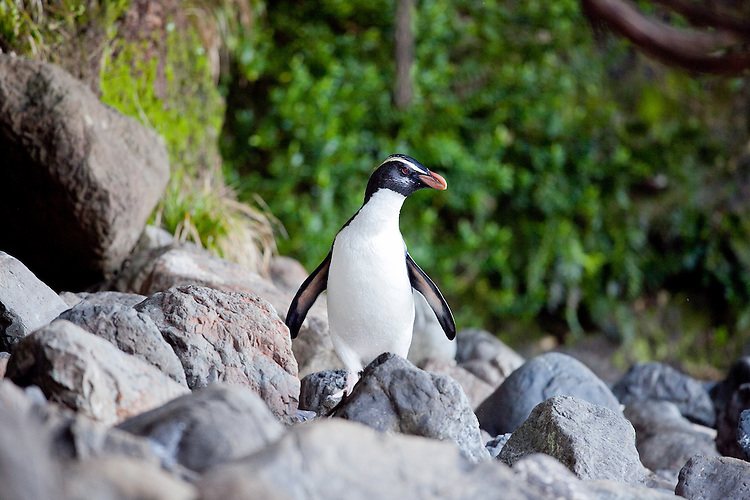 A Fiordland crested penguin on a rocky beach in South Westland. South Island, New Zealand - stock photo, canvas, fine art print