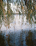 Tree branches dipping into lake, Mantova, Lombardy, Italy