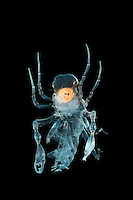 Deep-sea Amphipod (Phronima) with eggs