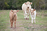 Brazoria County, Damon, Texas; a mother cow and two calves in the pasture