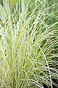 """Carex acuta 'Variegata' (syn. Carex riparia 'Variegata'),  a decorative grass with white and green foliage and drooping black seedheads. It grows in wet mud in a stream edge/bog garden or in up to 5cm (2"""") of water on ther margins of a sunny or partially shaded pond."""