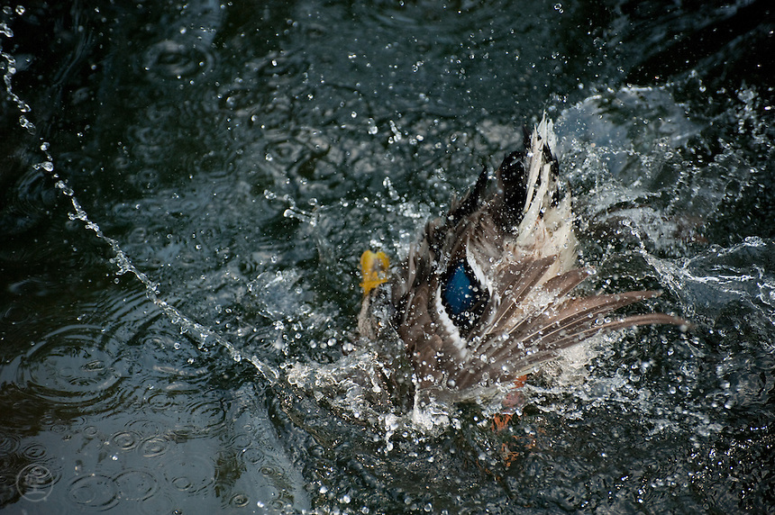 A young male mallard duck dives into the water, creating an abstract pattern of splashes.