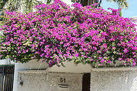 Purple bougainvillea growing on the rooftop of a house in downtown, Cancun, Quintana Roo, Mexico.